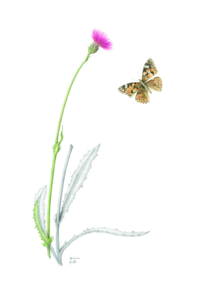 Cirsium dissectum, Meadow Thistle Coloured pencil on drafting film 52 x 41 cm