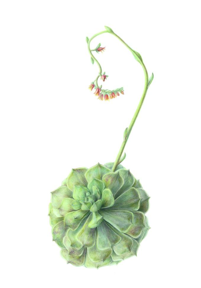 Echeveria Hybrid, Echeveria Crassulaceae Watercolour and coloured pencil on paper 51 x 36