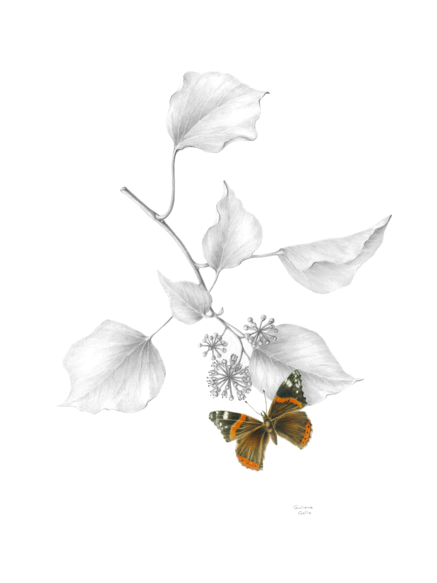 Hedera helix with Vanessa atalanta, Common ivy with Red Admiral butterfly Watercolour and graphite on paper 50 x 40 cm