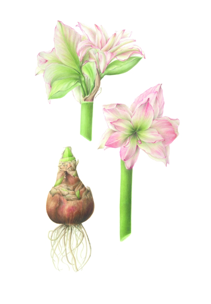 Hippeastrum double hybrid, Amaryllis Watercolour on paper 70 x 50 cm