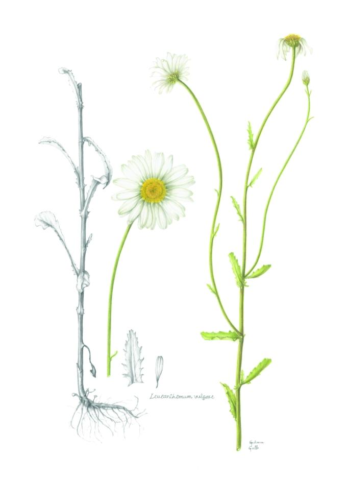 Leucanthemum vulgare, Ox-Eye Daisy Watercolour on paper 61 x 46 cm