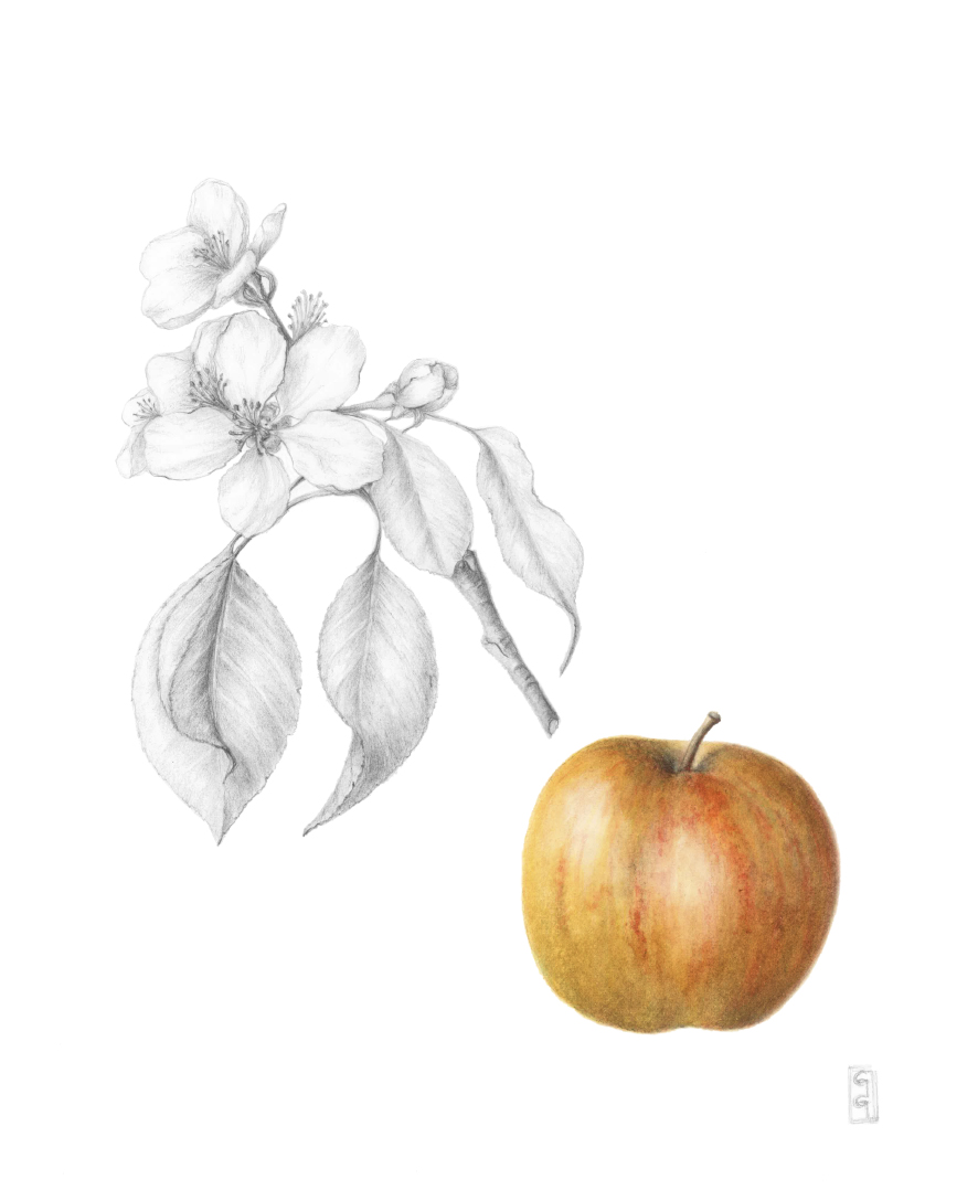 Malus domestica 'Glorie van Holland', Apple 'Glorie van Holland' Watercolour and graphite on paper 40 x 30 cm