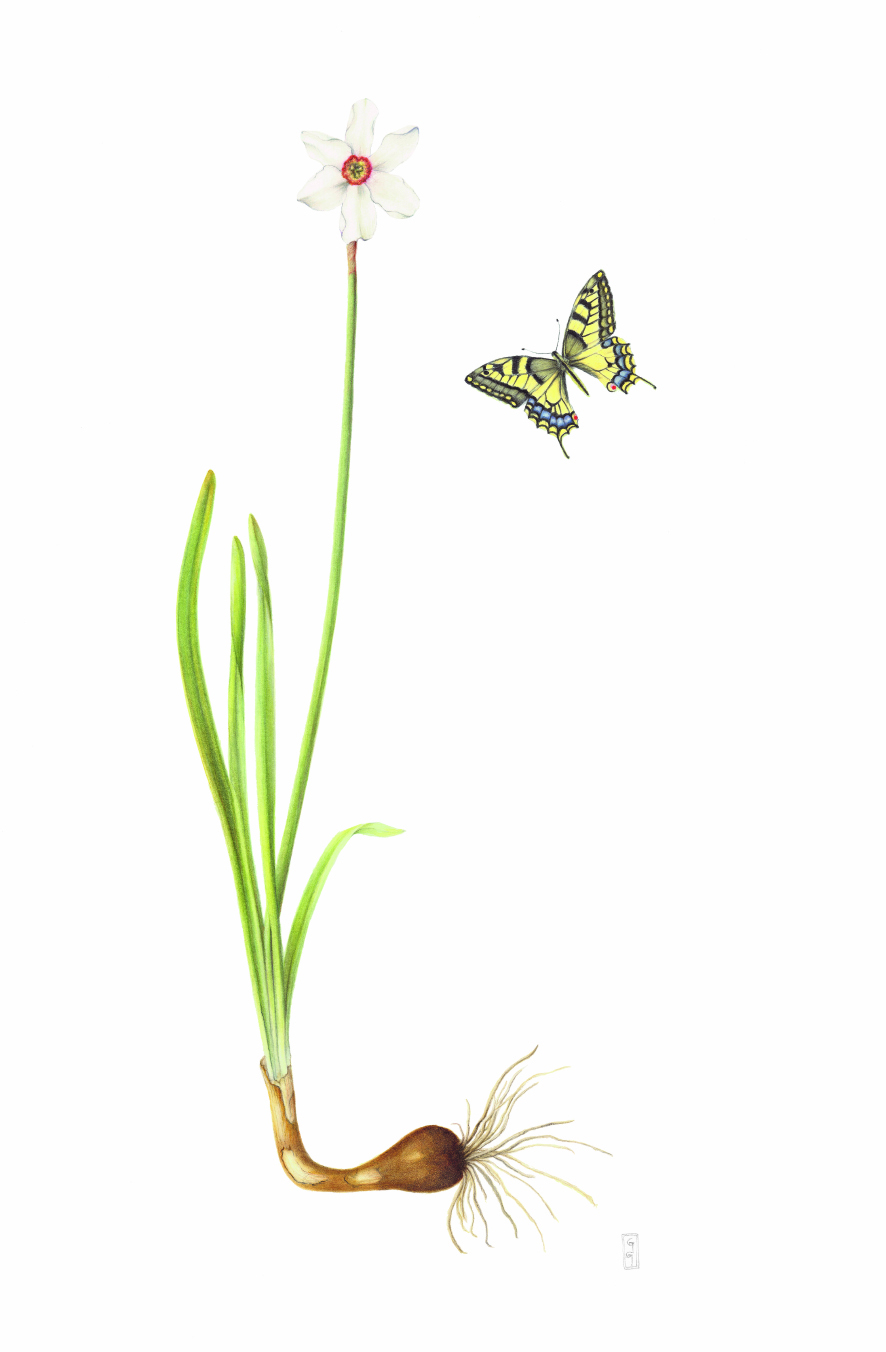 Narcissus poeticus var. recurvus with Papilio machaon, Old Phaesant's eye with Swallowtail Watercolour on paper 81 x 51 cm
