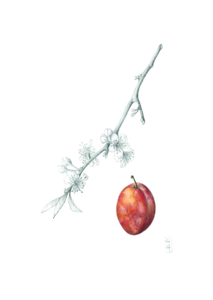 Prunus domestica 'Victoria', Plum 'Victoria' Watercolour and graphite on paper 40 x 30 cm