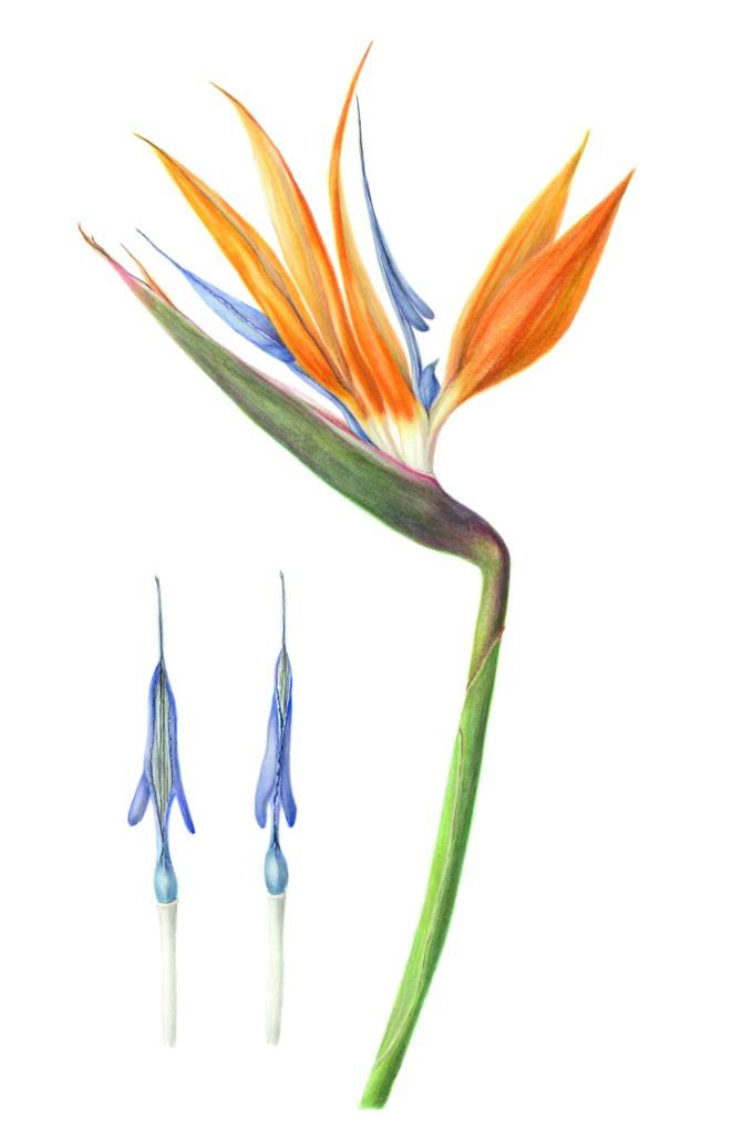 Strelitzia reginae, Bird of Paradise, watercolour on paper 60 x 42 cm