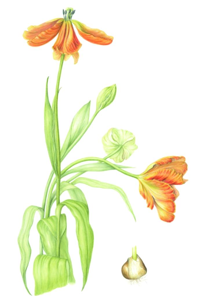 Tulipa 'Professor Röntgen', tulip 'Professor Röntgen' Watercolour on paper 70 x 50 cm